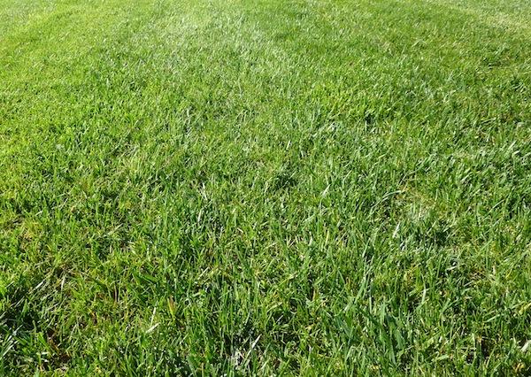Un gazon vert, dense, regarni, prêt pour la saison